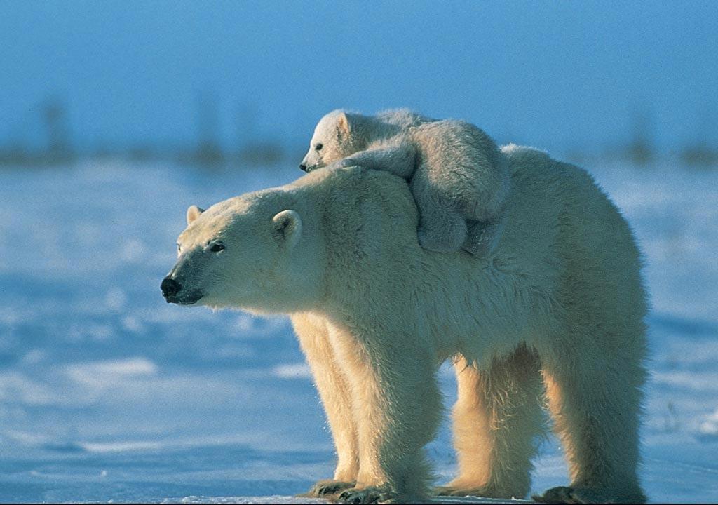 北极熊. 【图片转载】 - kkk20088 - kkk20088的博客