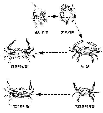 梭子蟹成长过程