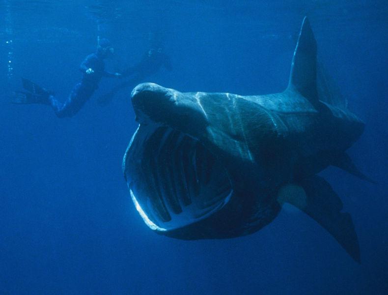 姥鲨的生活习性